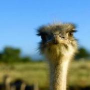 В гости к страусам